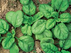 Beans & Greens Farm - Crops Spinach