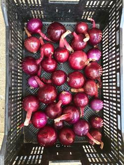 Beans & Greens Farm - Crops Red Onions