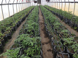 Beans & Greens Farm - crops tomato greenhouse