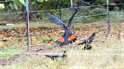 Red-tailed Blacks - northern
