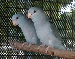 Pacific Parrotlet - Blue