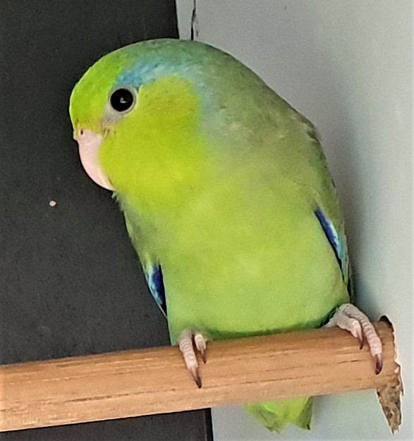 Pacific Parrotlet - Wild type