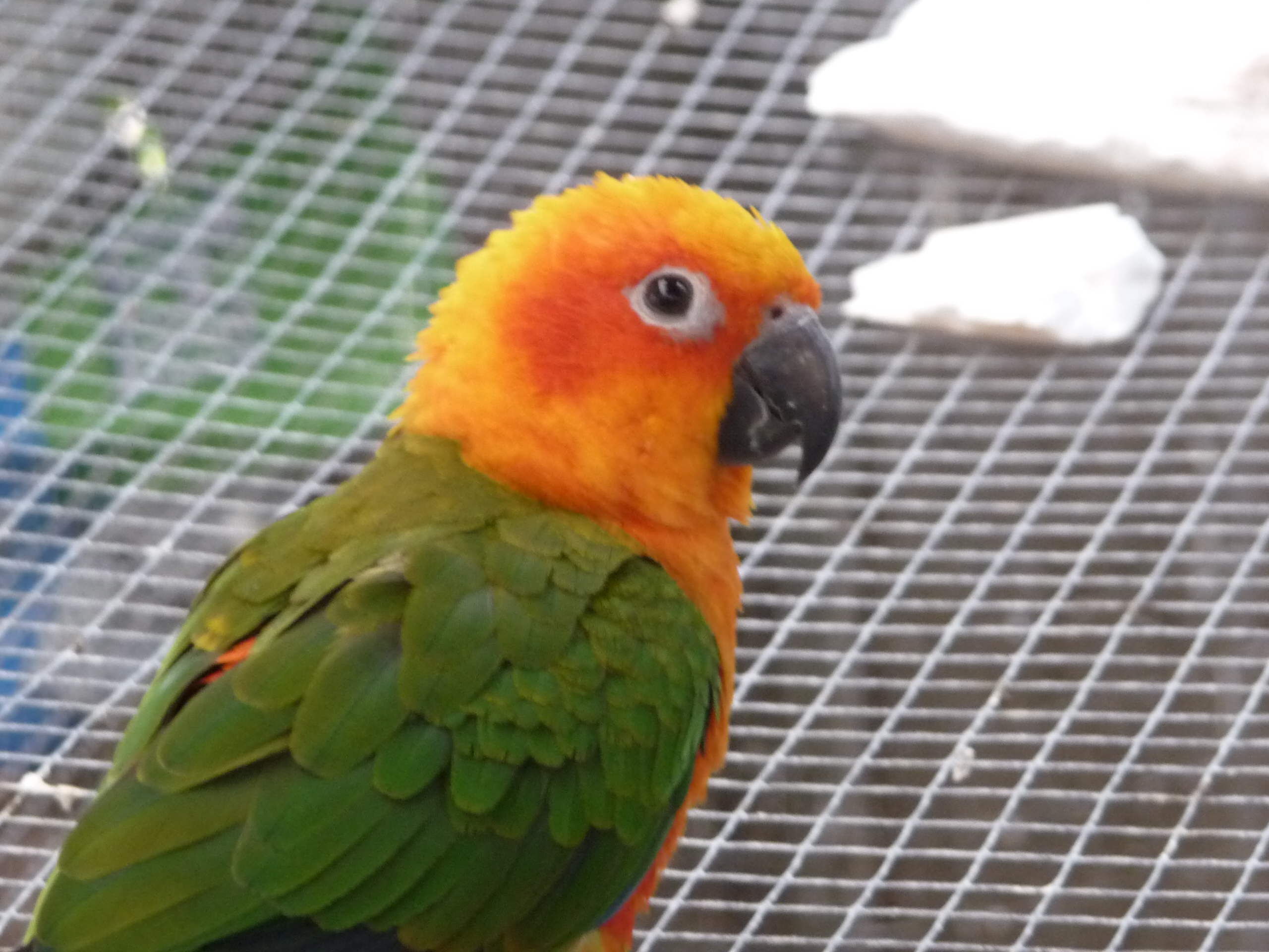 Janday Conure