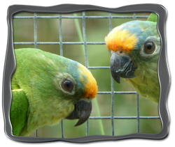 Peach-fronted Conures