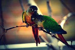 Green-cheeked Conure - Mutation