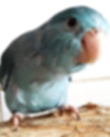 Pacific Parrotlet-Blue Hen