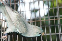 poss. Cobalt Greywing Hen