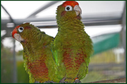 Rose-crowned Conures