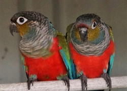 Crimson-bellied Conure