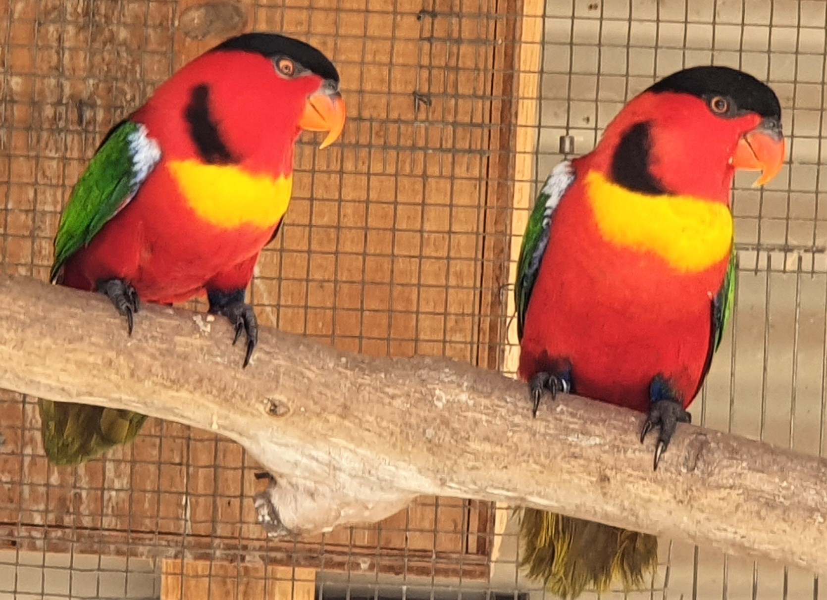 Yellow-bibbed or Green-tail Lory