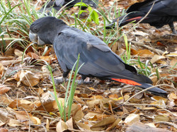 Red-tailed Blacks -northern