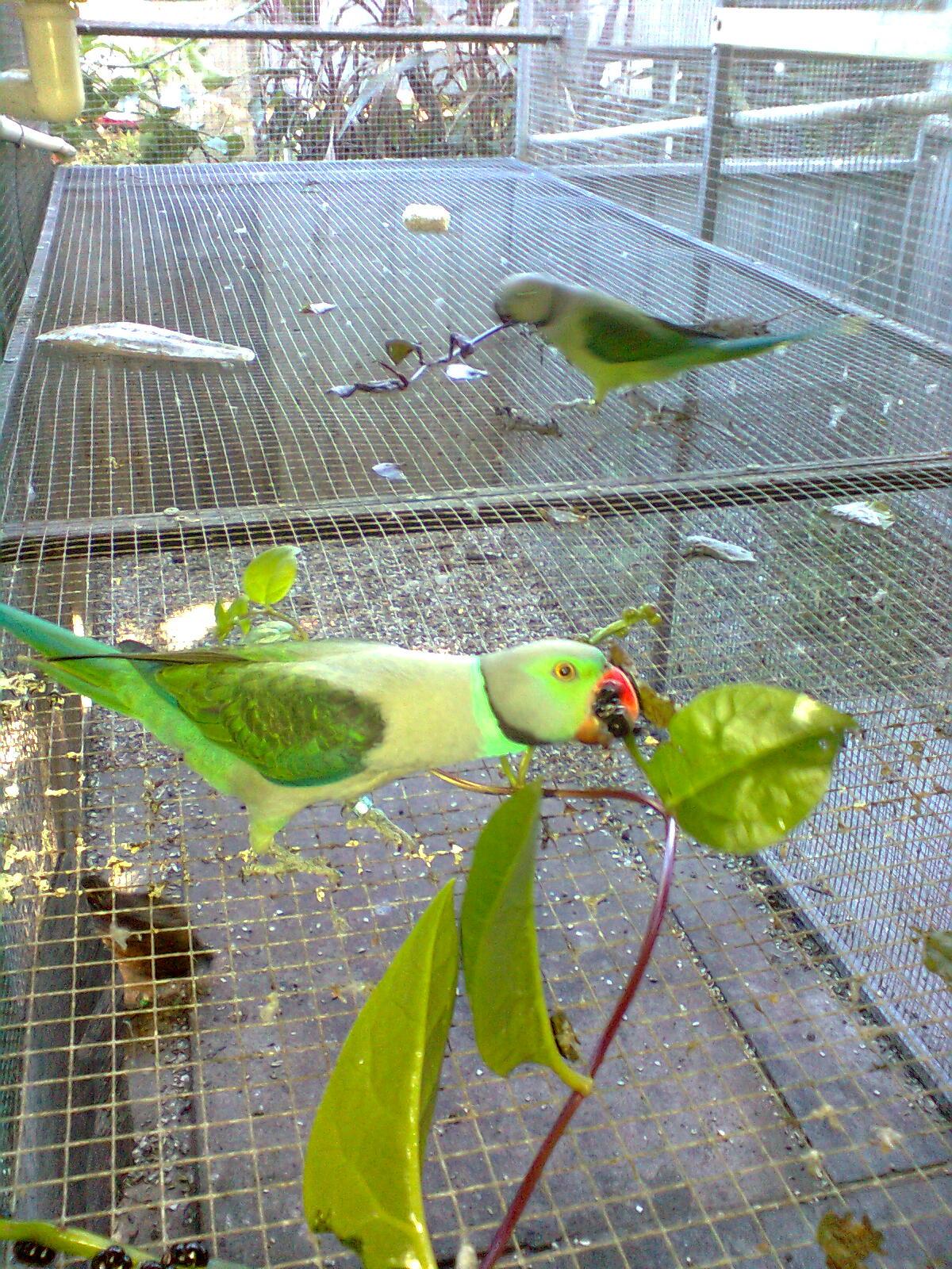 Malabar Cockbird eating Malabar