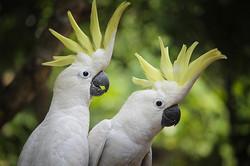 Sulphur-crested