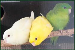 3 Linnies - D Green + Lutino + Crem