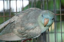 poss Cobalt Greywing Hen
