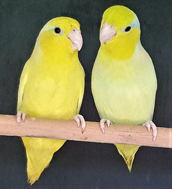 Pacific Parrotlet - AM Yellow