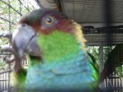 Blue-throated Conure