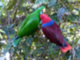 noble-parrots-406661__340.jpg