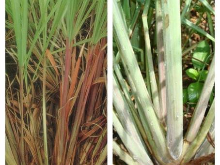 ความแตกต่างระหว่าง ตะไคร้บ้าน (Lemon Grass) กับตะไคร้หอม (Citronella Grass)