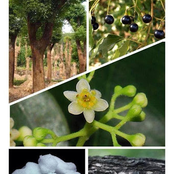 ต้นการบูร (อบเชยญวน หรือ พรมเส็ง; camphor tree)