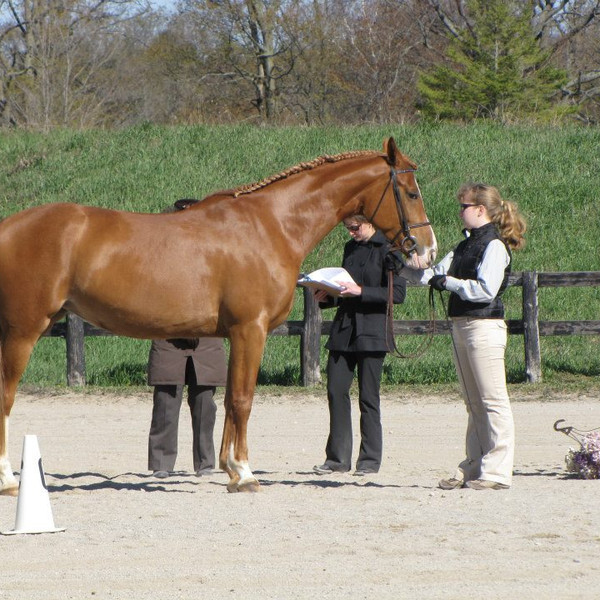 Sport Horse In Hand