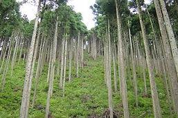 健全な人工林.jpg