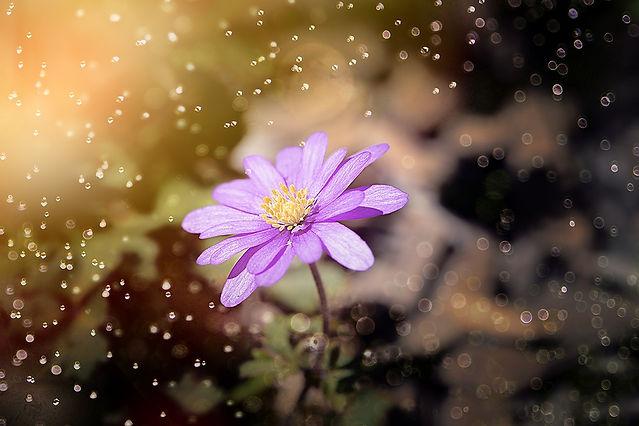 balkan-anemone-3324412_960_720.jpg