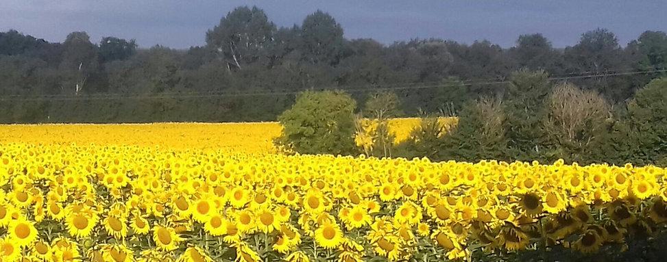 sunflowers 2017 god one.JPG
