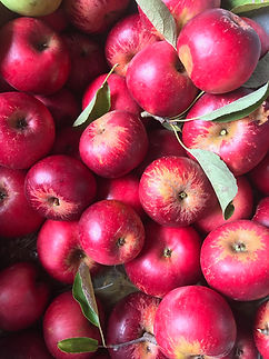 Apples red aug 2018.JPG