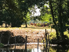 cows at Chenommet aug2018.jpg