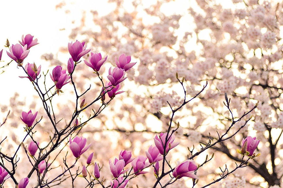 magnolia-2218788_1280.jpg