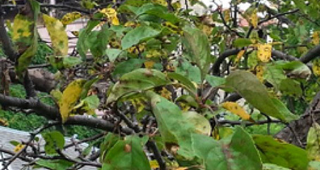 Are you Seeing a Fungus on your Crabapple Trees?