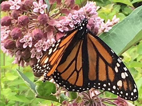 Butterflies & Caterpillars—Backyard Miracles!