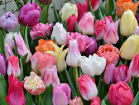 Now is the Time to Plan for Spring Color—Tulip Education: