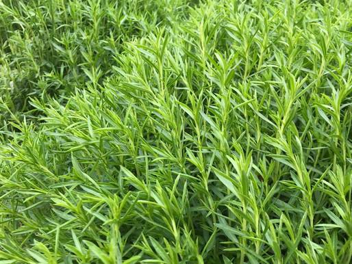 Kara Kekik – Zahter (Thymbra spicata)