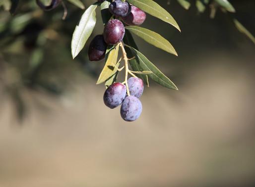 Zeytin ağaçlarımızın su ihtiyacı
