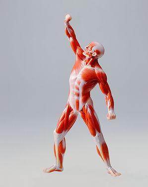Study model human muscles.jpg