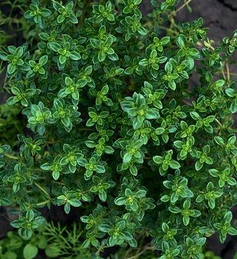 thyme bush.jpg