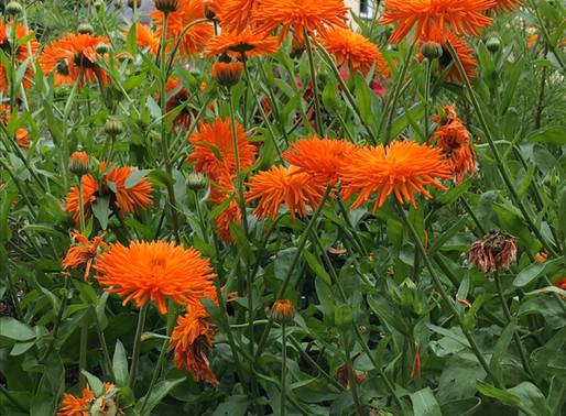 Marigolds by Heather Gatley