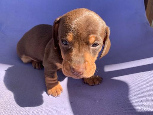 Miniature Choc & Tan purebred Dachshund puppies for sale