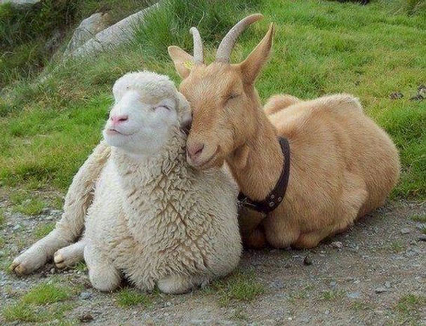 Sheep & Goats 2.jpg