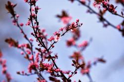 cherry-tree-3288628_1920