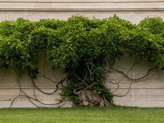 Grape_Vine_Outside_Art_Gallery.jpg