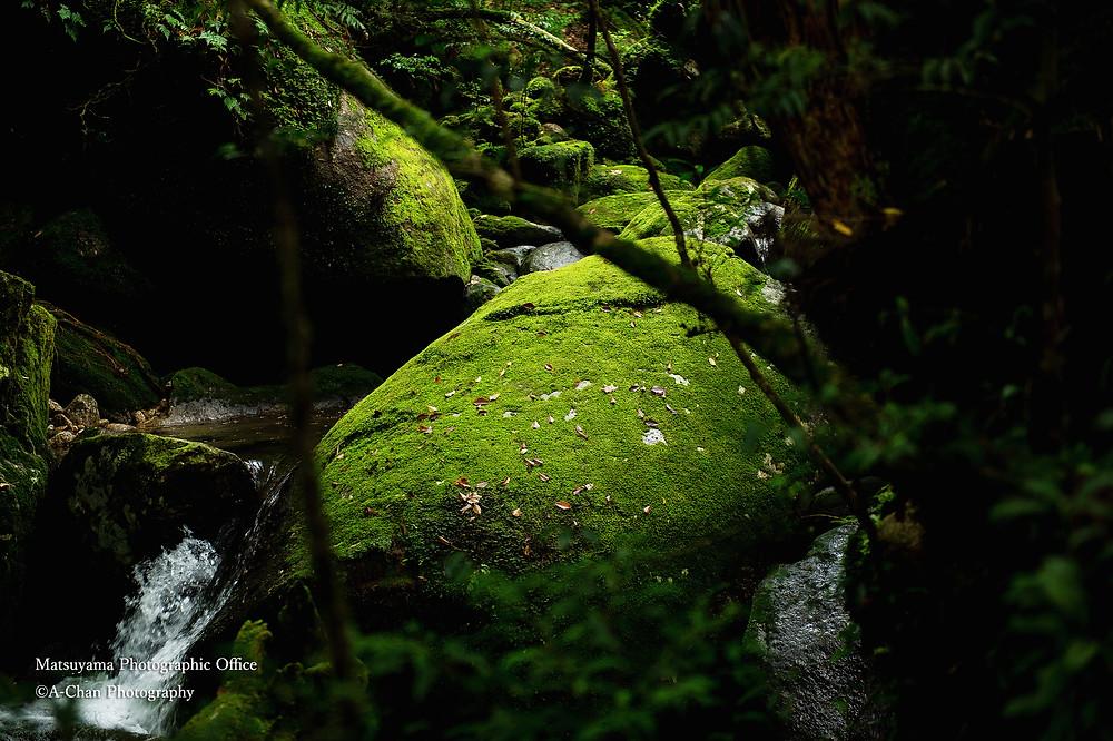 苔むす岩 ©A-Chan Photography  https://www.japantravelphoto.com/
