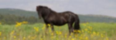 Icelandic horse Ridelikeaviking Norway n