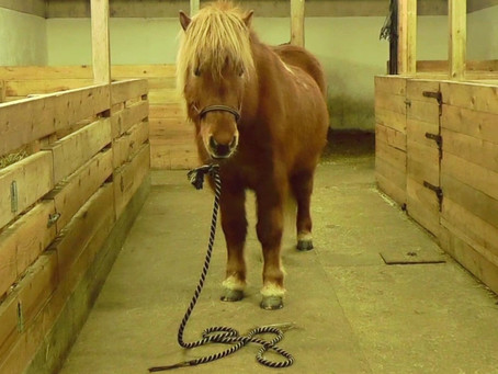 How to ground tie your horse