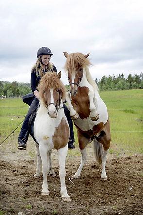 icelandic horse training rearing horse p