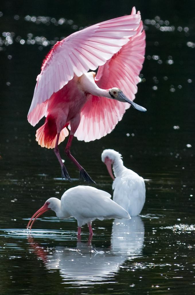 Розовая и белые птицы на черном фоне.