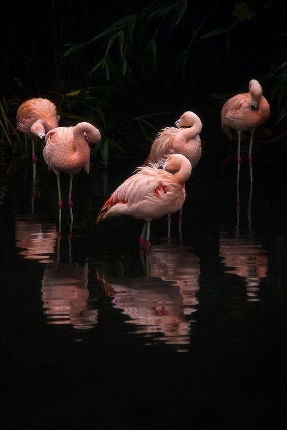 Розовые фламинго на черном фоне.