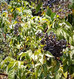 Beyond Syrup: Elderberry Medicine Overview
